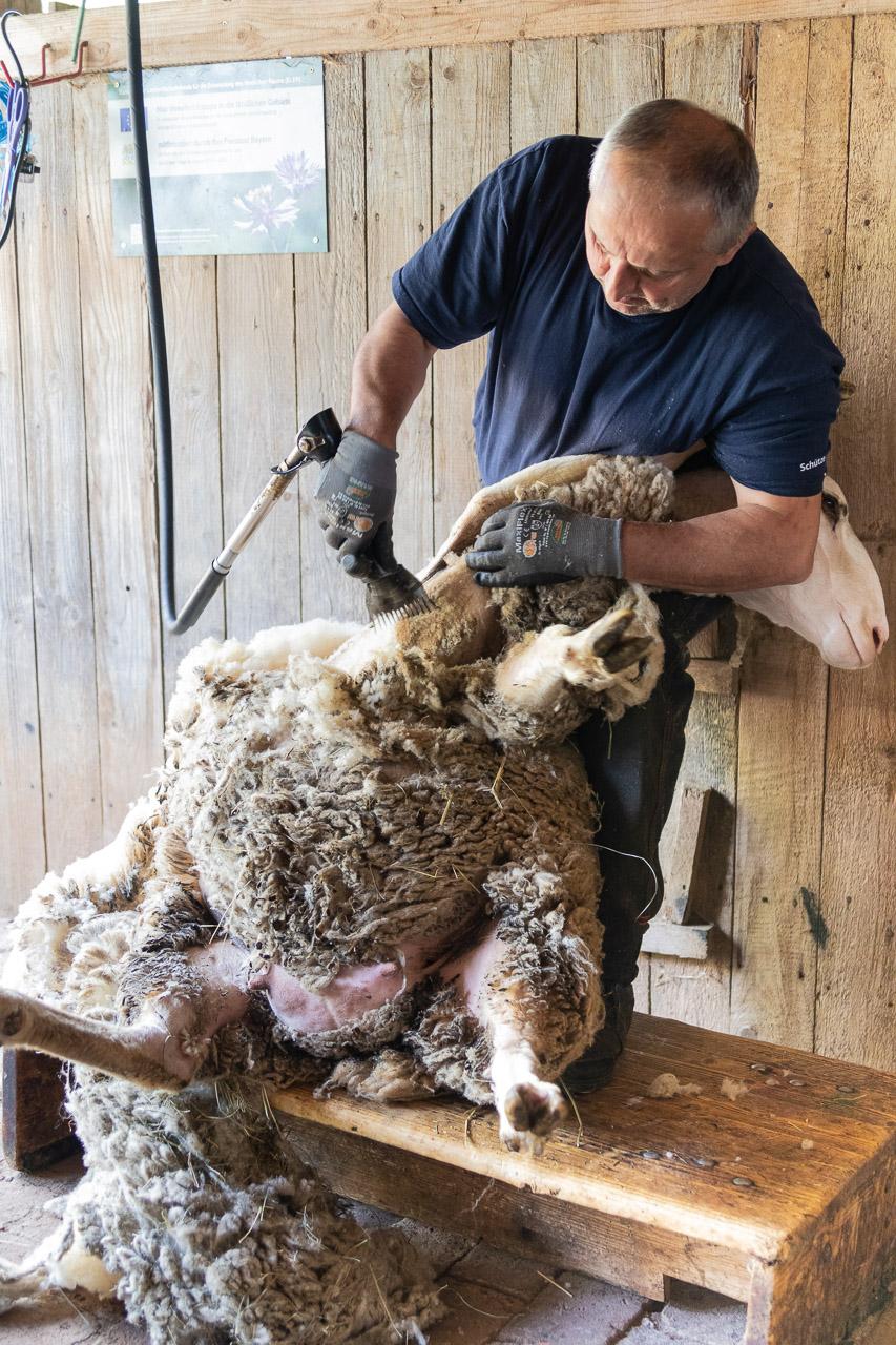 Schaf Brilli bei der Schur