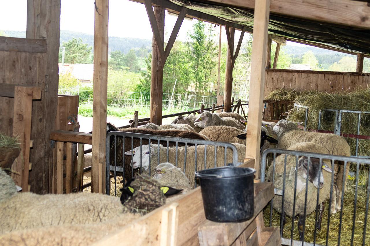 Eingepferchte Schafe bereit zur Schur