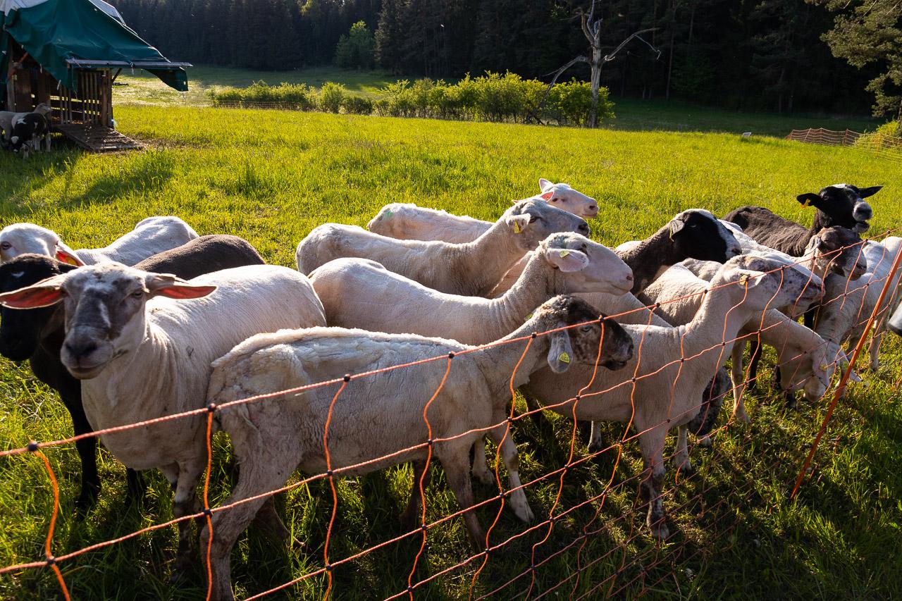 Die Schafherde hofft auf Leckerlis