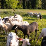 Schafe frisch auf der Weide