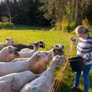 Bettina füttert die Schafe